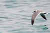 Laughing Gull (Leucophaeus atricilla)  4 (Lucas Limonta) Tags: sea bird closeup clouds mar interesting haze agua puertorico seagull gull caribbean pajaro caribe laughinggull leucophaeusatricilla
