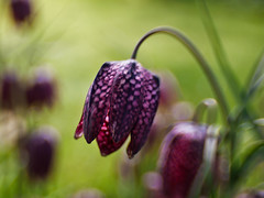 Fritillaria meleagris - (EXPLORE  May 21, 2011) (Anne Worner) Tags: flower bokeh explore checkered fritillariameleagris wefi lensbabycomposer sweet35 snakesheadfritllary