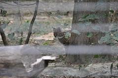 Serval (Douce Folie) Tags: lion du puma parc tigre lynx flin panthre lopard gupard lionne flins tigredesibrie lionceau tigreblanc canadalynx panthredesneiges panthrenoire couguar lynxboral chatdudsert pardelleservalcaracalmanulmargaychat