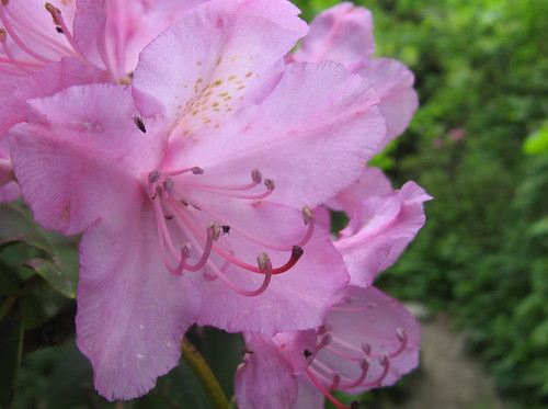 Rhododendron, Grandfather Mountain, NC, June 2010