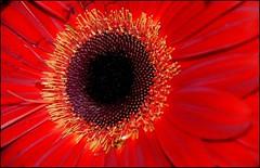 MACRO DE FLOR ROJA (ABUELA PINOCHO ) Tags: naturaleza macro flor gerbera margarita roja petalos naturesfinest pistilos tepasaste macroaward magicofaworldinmacro macromarvels yourpreferredpicture sepalos
