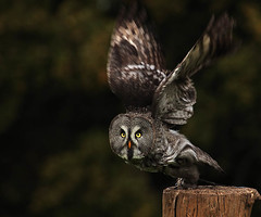 Owl departure (Wild Dogger) Tags: captured owl falconry kasselburg fotocompetition fotocompetitionbronze