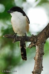 Long-tailed Shrike (Lanius schach) (freeformula) Tags: philippines birding pbp laniusschach longtailedshrike candabapampanga