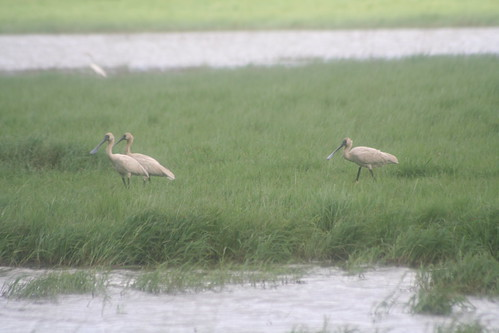 Royal Spoonbills ?