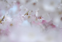Heavenly (yoshiko314) Tags: pink flower nature cherry spring blossom bokeh many 100v10f micro cherryblossom boke palepink blueribbonwinner 55mmf28aismicro brillianteyejewel nature10faves