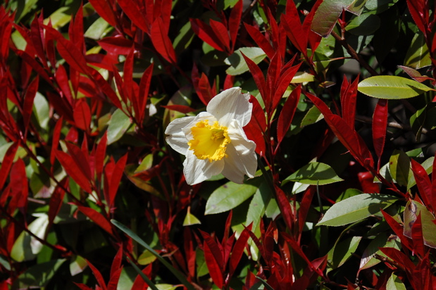 daffodil_red_tip_bushes