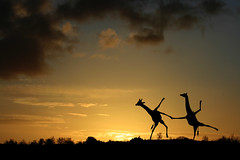 Dancing by the light of the setting sun (Matt West) Tags: sunset sky silhouette clouds dance funny paintshoppro giraffe savannah plain wildlifephotography ittakestwo views4000 views10000 onephotoweeklycontest alemdagqualityonlyclub