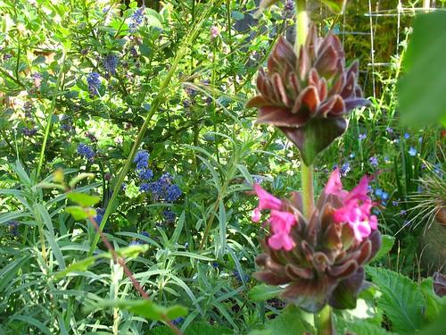 Ceanothus 'Frosty Blue' + Salvia spathacea