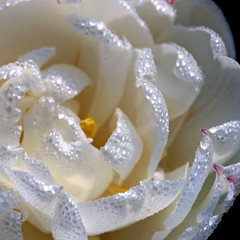 a gentle good morning.... (janoid) Tags: flowers beautiful onwhite xoxoxo andfriends xoxoxox  janslightstyle janalicious janoidmagic janoidstyle tttttttttttttttttttt thesweetestlightever xo4u morningincapemay kissedbythemorningdew iseeaheartinthecenter
