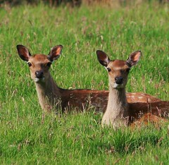 Twins (Chris*Bolton) Tags: ireland nature searchthebest wildlife deer wicklow potofgold artcafe naturesfinest blueribbonwinner rathdrum golddragon animalkingdomelite abigfave platinumphoto aplusphoto diamondclassphotographer flickrdiamond lmaoanimalphotoaward excapture theperfectphotographer natureselegantshots ourmasterpieces rubyphotographer qualitypixels earthanditsincredibleanimals naturallymagnificent worldglobalaward