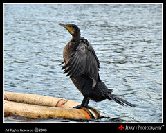 Great Cormorant (Phalacrocorax carbo) (| JERRY |) Tags: india bird water boat kerala southindia keralam h9 greatcormorant phalacrocoraxcarbo wyanad godsowncountry northkerala pookotlake lakkidi sonyh9 sonydsch9 dsch9 jerryclicks jerryphotography neerkaakka waterbirdie