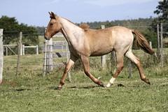 Foto (Estncia da Quinta Digital) Tags: cavalo crioulo