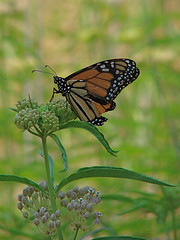 monarch on narrowleaf milkweed