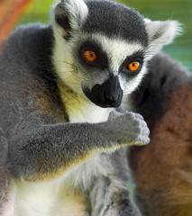 Ring-tailed Lemur_01 (MCV Photo & Video) Tags: sussex newjersey space wildlife nj lemur jersey farms closeups soe ringtailed naturelover potofgold worldnature canon40d betterthangood naturespotofgold wildlifecloseup canon300mm4lis
