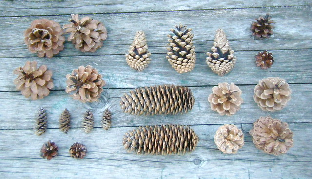 pine and spruce cones