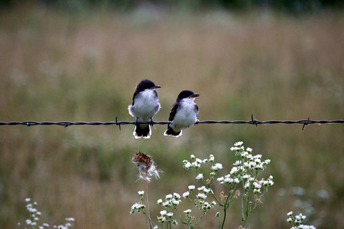 Birds on barbwire