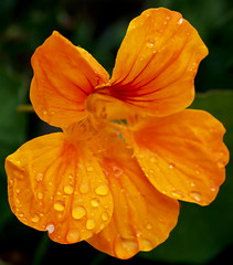 Droplets (.Carter.) Tags: orange flower macro nature rain droplets pollen photshop auniverseofflowers
