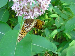 Upside-down Dinner (QuietDelusions) Tags: minnesota butterfly milkweed paintedlady