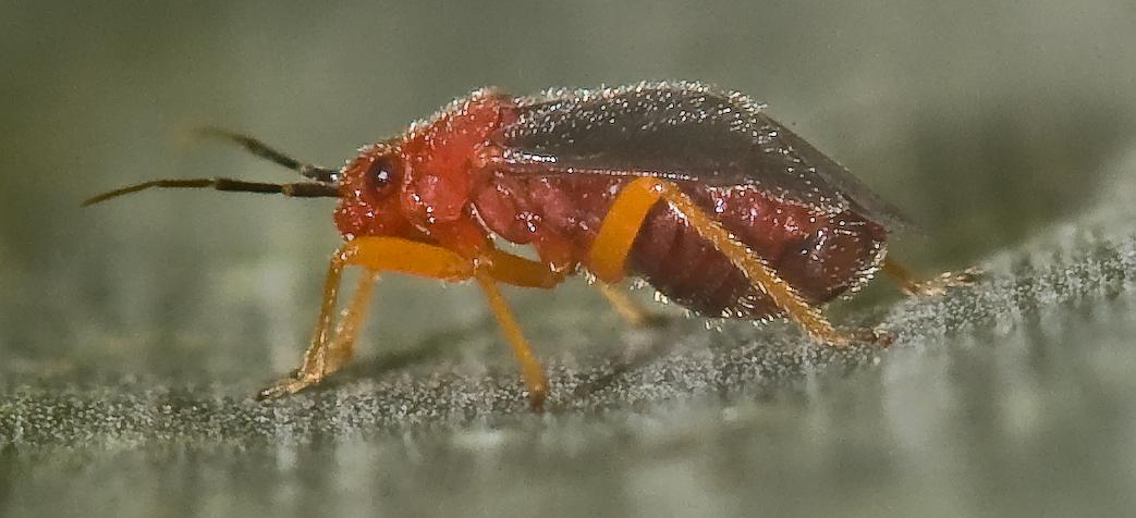 [Yucca plant bug - Halticotoma valida]