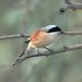 Long Tailed Shrike