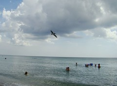 Brown pelican over swimmers