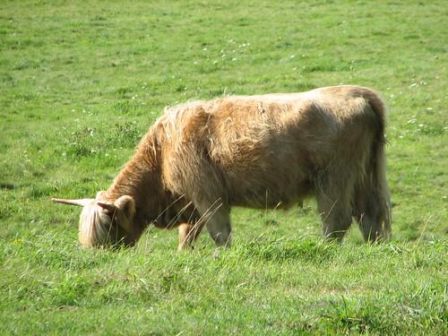 cow at DaCy Meadow Farm
