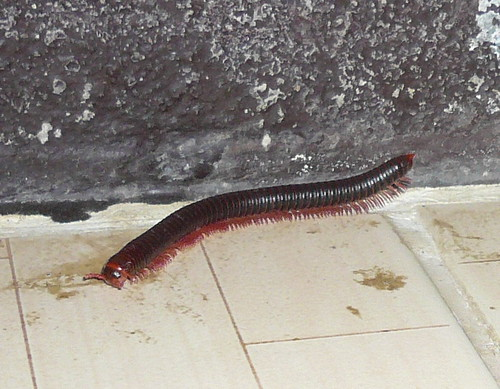 Millepede in guest house room