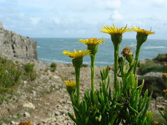 Golden Samphire at Tilly Whim