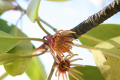 Bruguiera gymnorrhiza flower (islandergirl23) Tags: orange philippines mangrove oriental elnido palawan snakeisland mangrovetree bruguiera bruguieragymnorrhiza gymnorrhiza