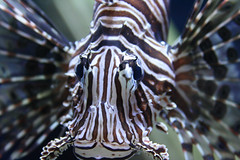 Eye Spy (MLBimagery) Tags: fish sealife aquatic lionfish aquariums cameronparkzoo top20fish top20fish20