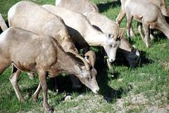 Canadian Rockies - Jasper (HBarrison) Tags: travel canada travels jasper sheep wildlife alberta glaciers elk athabasca worldtravel canadianrockies cans2s miligne alabasca harveybarrison hbarrison