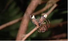 人為殺手以外,甲蟲在自然界中的天敵非蜘蛛莫屬。圖為螢火蟲正成為蜘蛛網下的獵物;圖片來源:楊維晟