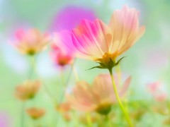 Double exposure mood (pastel cosmos) (tanakawho) Tags: pink blue orange white plant flower color macro green collage colorful picasa2 doubleexposure pastel dreamy postproduction cosmos treatment  karmapotd tanakawho platinumphoto impressedbeauty