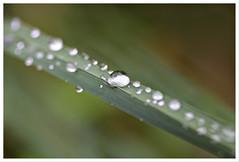 After the rain (Pan Tau) Tags: canon eos regentropfen 100mm28macro 40d