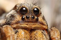 female wolf spider (Mundo Poco) Tags: macro canon spider arachnid wolfspider naturesfinest mpe65mm eos450d lycosid rebelxsi