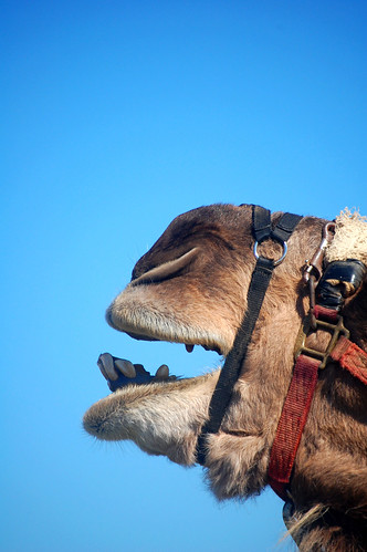 camel call