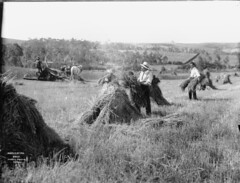Harvesting (Powerhouse Museum Collection) Tags: horse field workers farmers farm hey farming grain harvest haystack hay plains powerhousemuseum xmlns:dc=httppurlorgdcelements11 dc:identifier=httpwwwpowerhousemuseumcomcollectiondatabaseirn28131