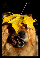 I CAN'T REACH IT!! (electra-cute) Tags: chow meg leaf autumn fall maple dog black tongue blindphotographers animal portrait old senior portland oregon canine dogshow champion chowchow playful