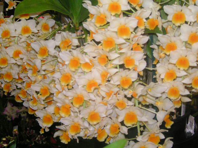 Dendrobium densiflorum x  thyrsiflorum