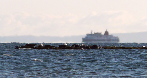 Seals and Arran Ferry