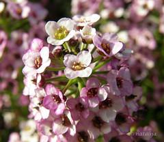 PA260054 (natalija2006) Tags: plant flower natalija cvet rastlina roa npisec