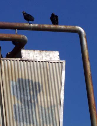 vultures1