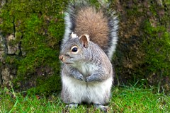 Grandpa Squirrel (Lisa Bettany {Mostly Lisa}) Tags: moss squirrel fluffy grandpa explore shifty sneaky beaconhillpark greysquirrel specanimal