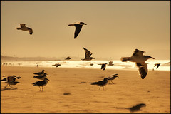 The golden rush (manlio_k) Tags: sea usa bird beach losangeles wings seagull rush manlio castagna manliocastagna manliok