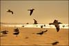 The golden rush (Manlio Castagna) Tags: sea usa bird beach losangeles wings seagull rush manlio castagna manliocastagna manliok