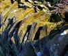 Drystone Wall Capstones