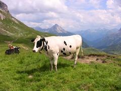 Schecke im Kleinwalsertal (roba66) Tags: mountain mountains animal kuh cow berge tier gebirge kleinwalsertal hirschegg savebeautifulearth hganimalsonly