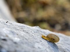 Aldapan gora (Joxefe Diaz de Tuesta) Tags: canon snail escargot caracol zp barraskiloa josefelixdiazdetuesta atauri