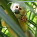Monkeys of Costa Rica - David Dodge