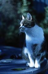 * * * (Der Ohlsen) Tags: colour film analog cat 35mm bokeh slide katze e6 kodakektachrome64t zenitet helios442 thelittledoglaughed dasmusch